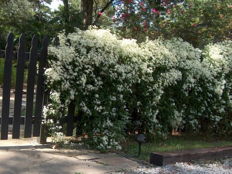 Siepi Da Giardino Fiorite : Piante da esterno tante idee originali per garantire la privacy
