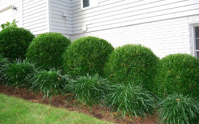 siepe realizzata piante boxus forma arrotondata