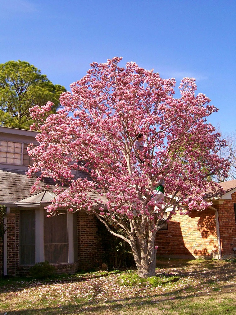 magnolia soulangeana ideale giardino fiorito