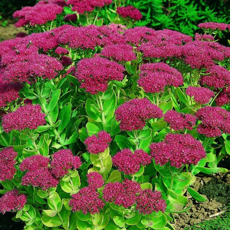 piantea utunnali balcone sedum fucsia