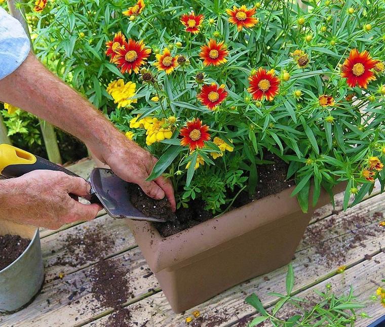 piante da balcone autunnali margherite