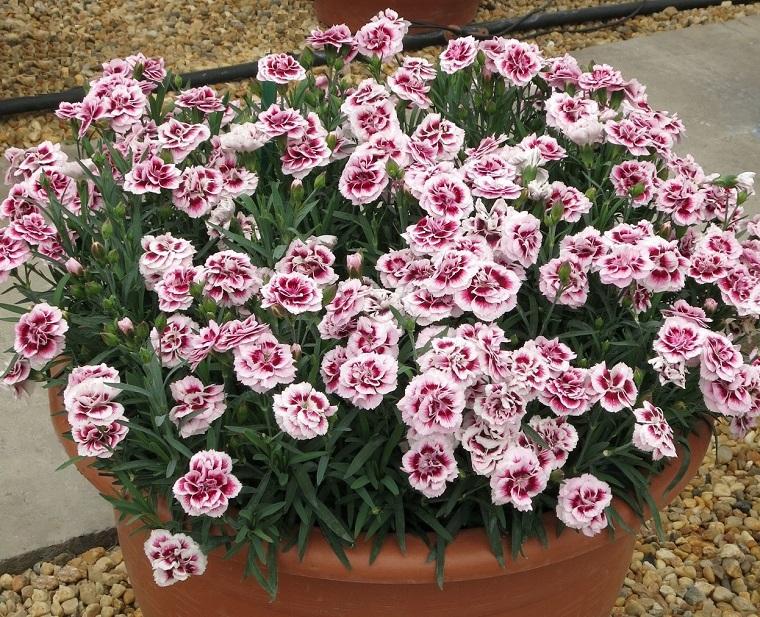 piante da balcone diantus bianchi viola