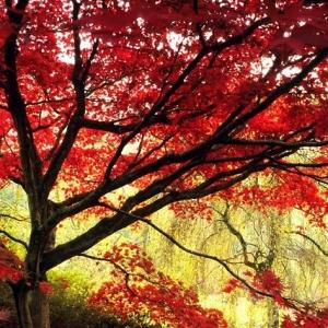 Acero giapponese, la leggenda e alcuni consigli per farlo crescere rigoglioso