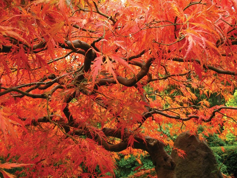 Giardino D Inverno Giapponese : Acero giapponese la leggenda e alcuni consigli per farlo