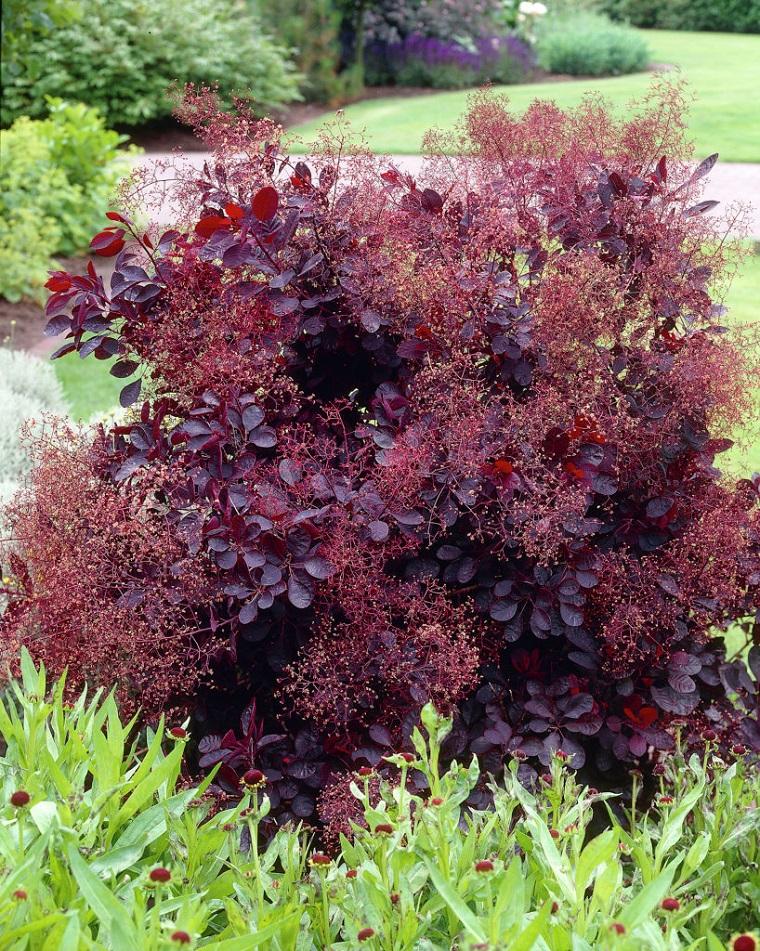 Arbusti eccone alcuni a foglie rosse per giardini e siepi for Cespugli giardino