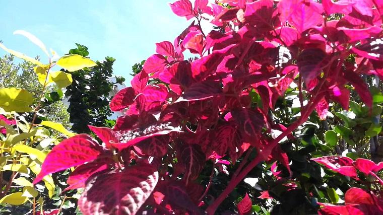 Arbusti eccone alcuni a foglie rosse per giardini e siepi for Trasforma un semplice terreno in un colorato giardino