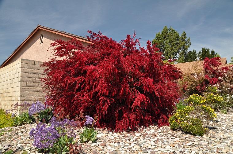 Arbusti eccone alcuni a foglie rosse per giardini e siepi for Cespugli fioriti da giardino