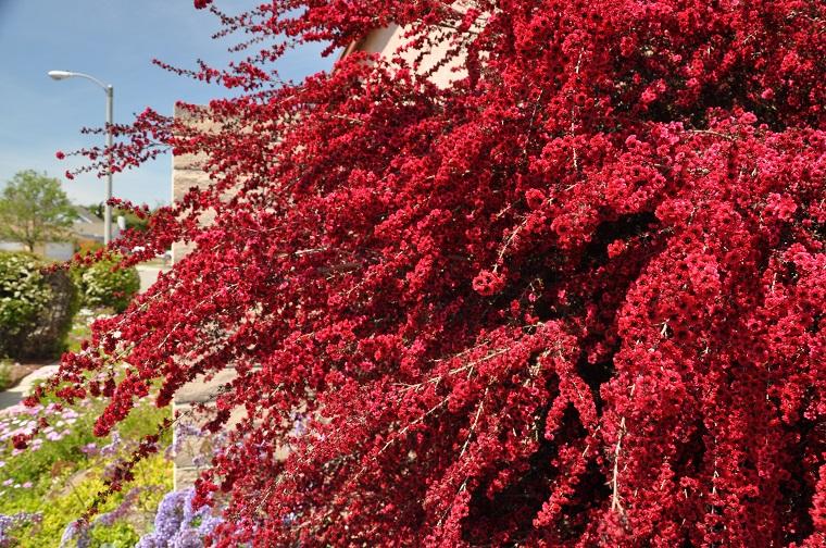 Arbusti Decorativi Da Giardino : Arbusti eccone alcuni a foglie rosse per giardini e siepi