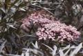 Arbusti, eccone alcuni a foglie rosse per giardini e siepi incantevoli