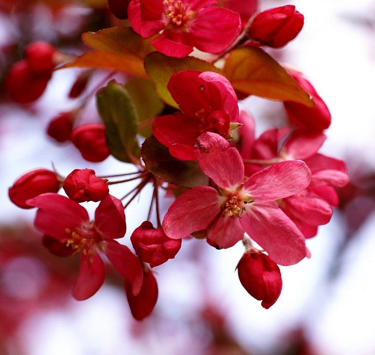 Arbusti eccone alcuni a foglie rosse per giardini e siepi for Giardino fiori