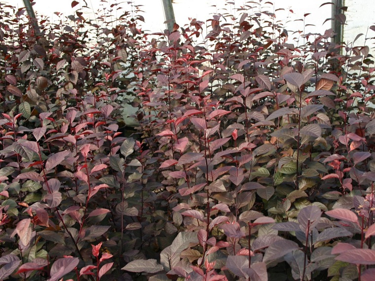 Arbusti eccone alcuni a foglie rosse per giardini e siepi for Arbusti perenni da giardino