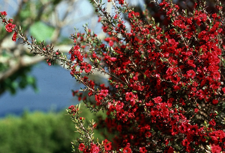 Arbusti eccone alcuni a foglie rosse per giardini e siepi for Pianta mediterranea con fiori rossi bianchi e gialli