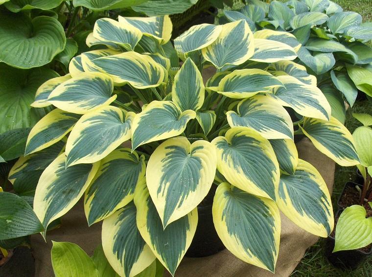 Piante da ombra guida completa per un giardino fiorito - Piante da giardino ornamentali ...