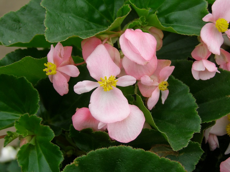 Piante da ombra guida completa per un giardino fiorito for Rose da giardino