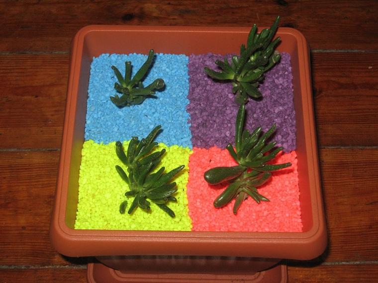 composizione piante grasse crassula ovata gollum