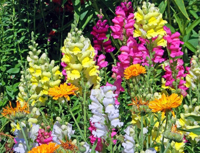 fiori e piante balcone esemplari bocca di leone
