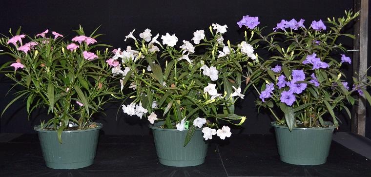 fiori e piante balcone tre esemplari ruellia