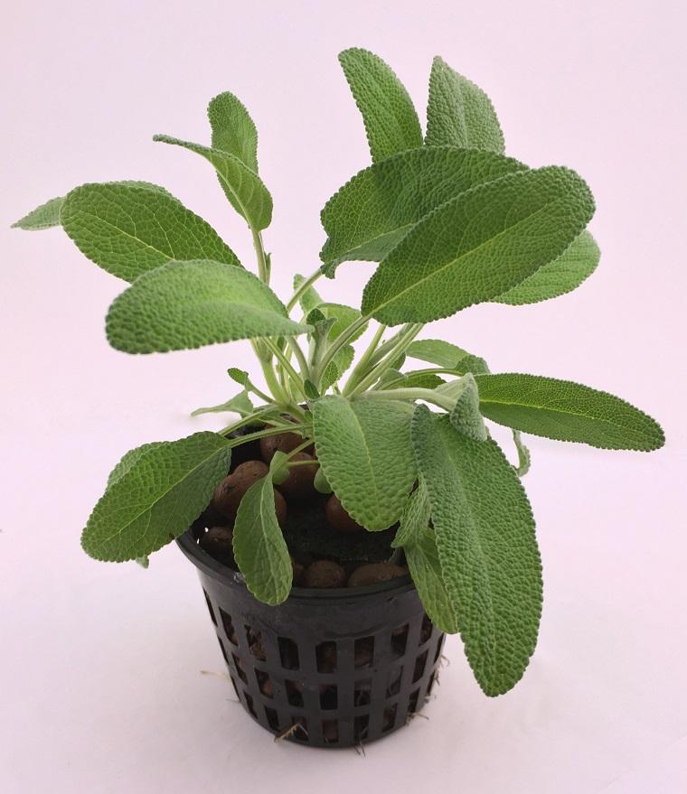 fiori e piante balcone vasetto salvia