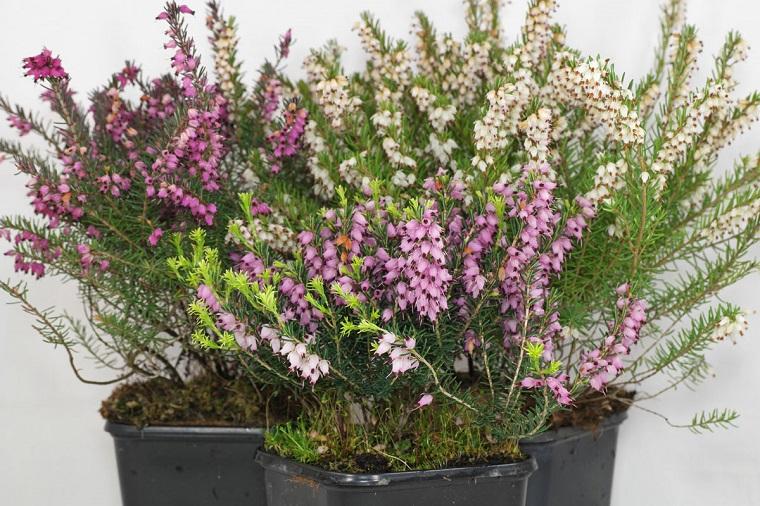 fiori e piante balcone vaso erica carnea