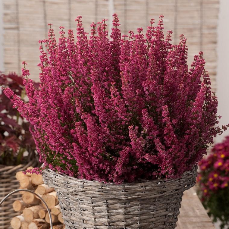 fiori e piante balcone vaso erica gracilis