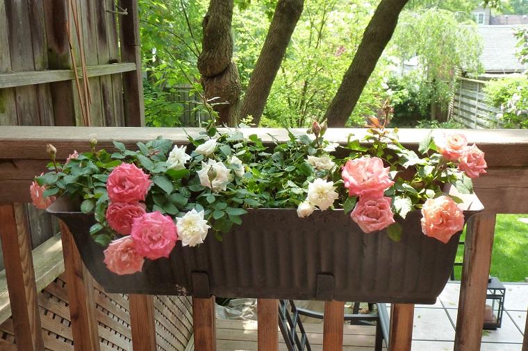 fiori e piante balcone vaso rose