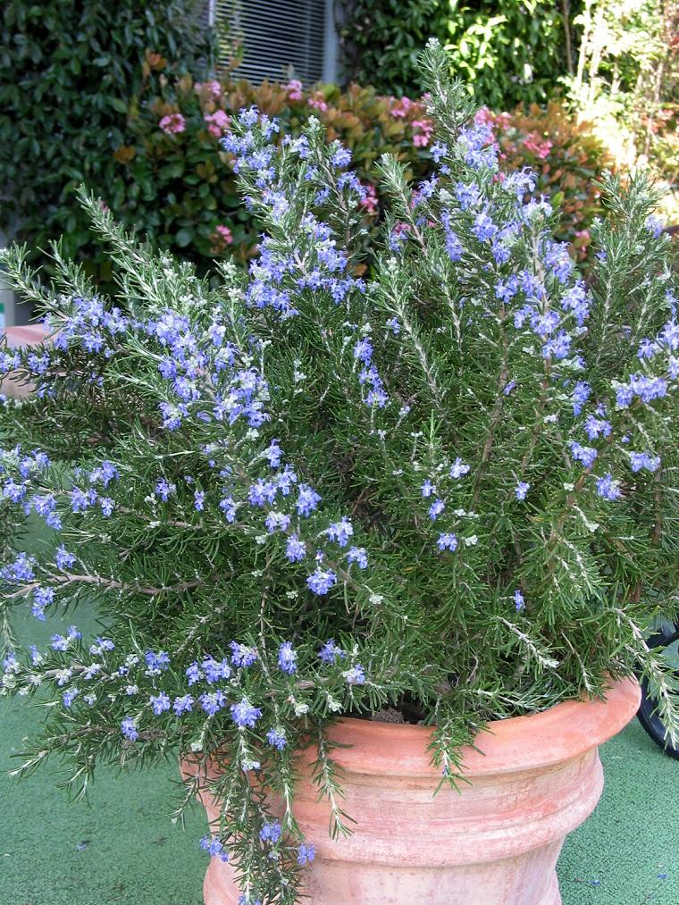 fiori e piante balcone vaso rosmarino