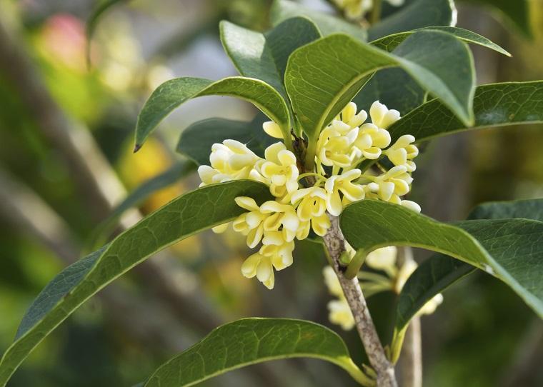 piante da balcone esemplare osmanthus fragrans