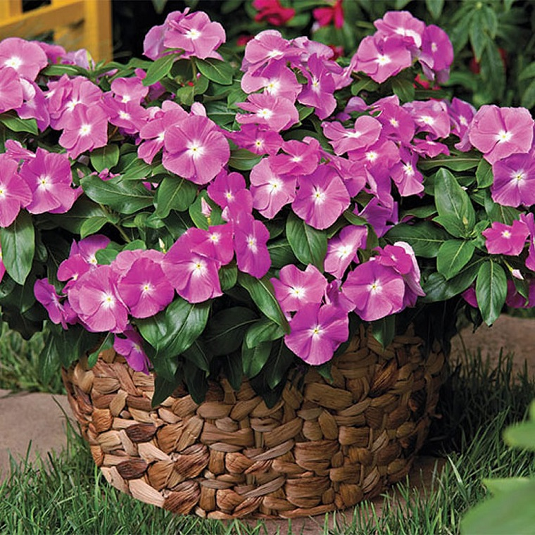 piante da balcone esemplare pervinca viola