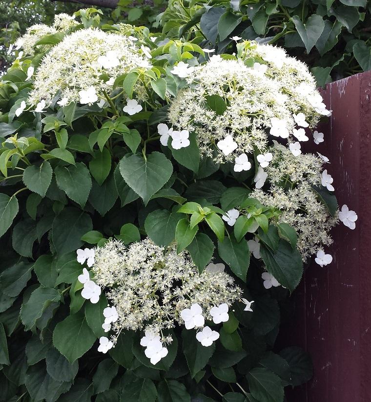 piante da balcone esemplare rampicante hydrangea