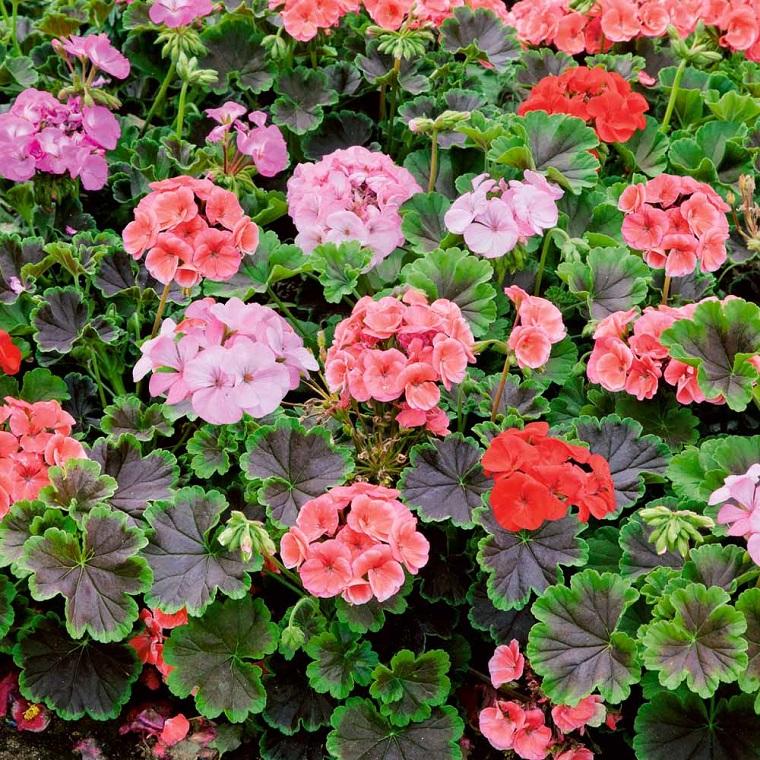 piante da balcone geranio colorato