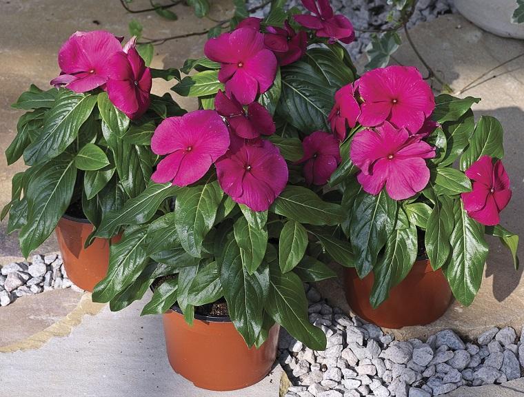 piante da balcone vasi pervinca