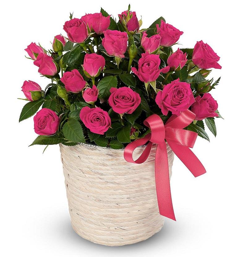 piante da balcone vaso rose fucsia
