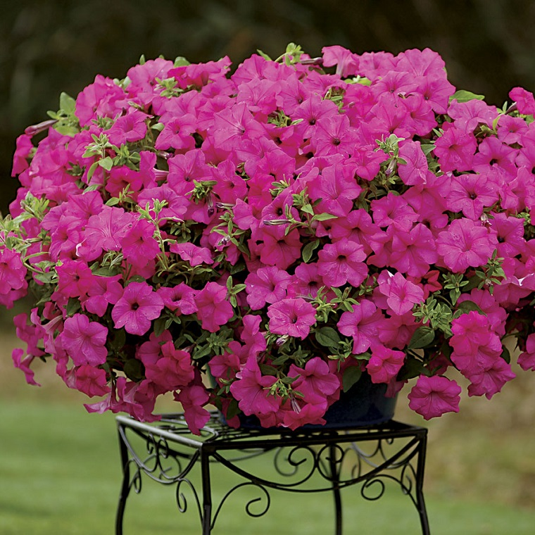 piante da esterno splendida petunia