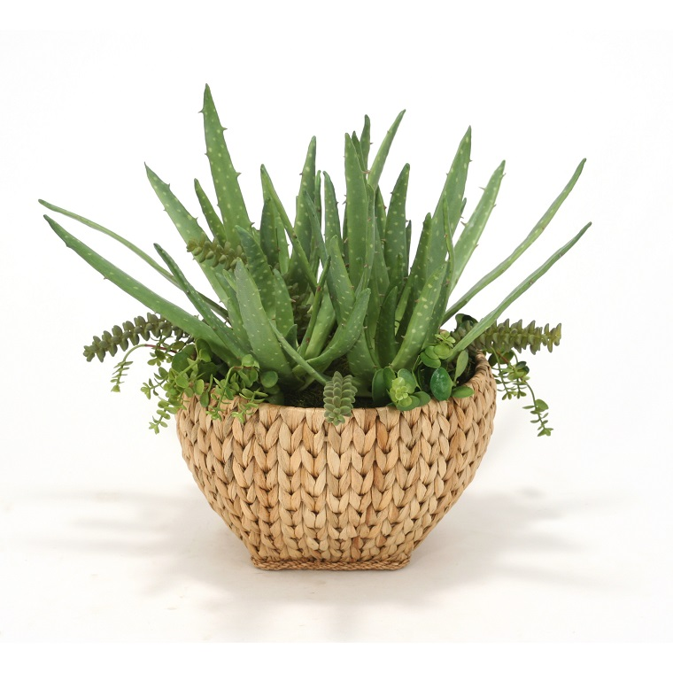 piante grasse aloe vera cestino