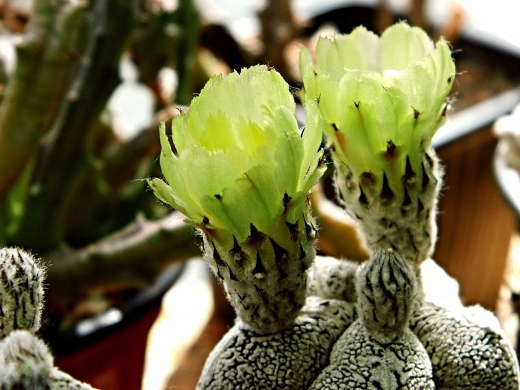 piante grasse esemplare astrofito