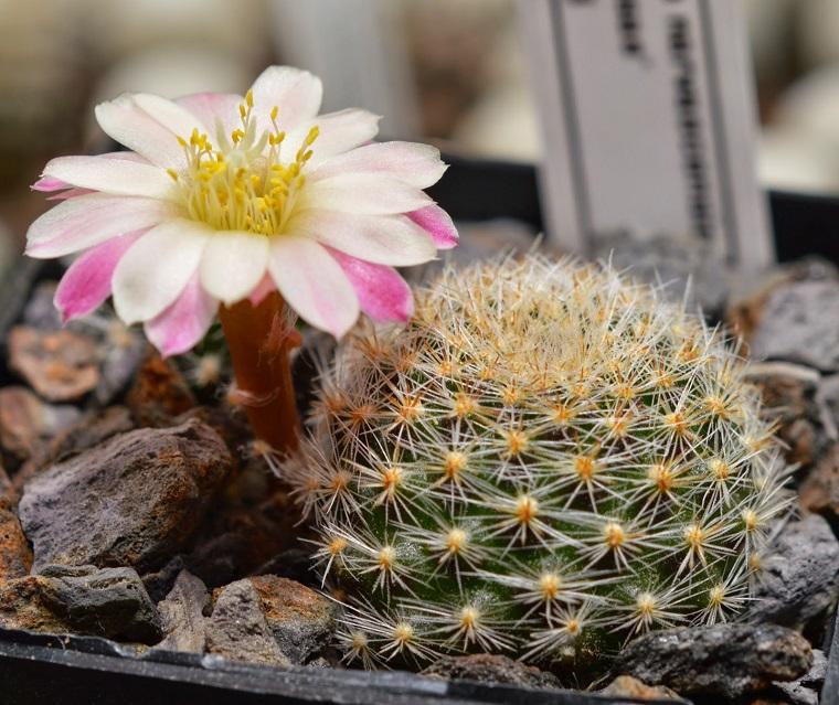 piante grasse esemplare rebutia rosa