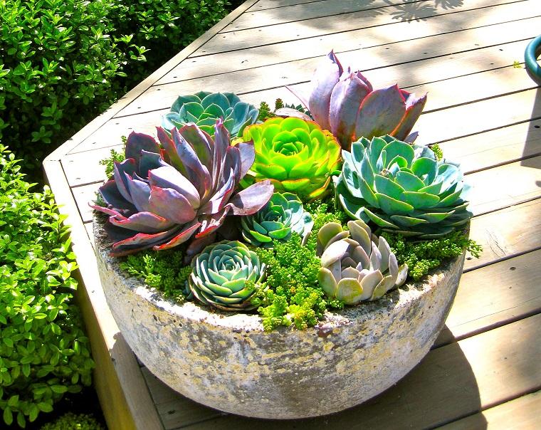 piante grasse vari esemplari echeveria