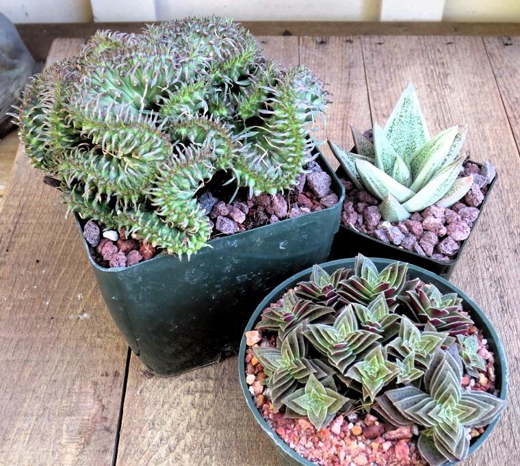 piante grasse varie specie crassula
