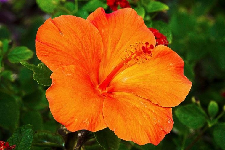 piante per balcone fiore hibiscus arancione
