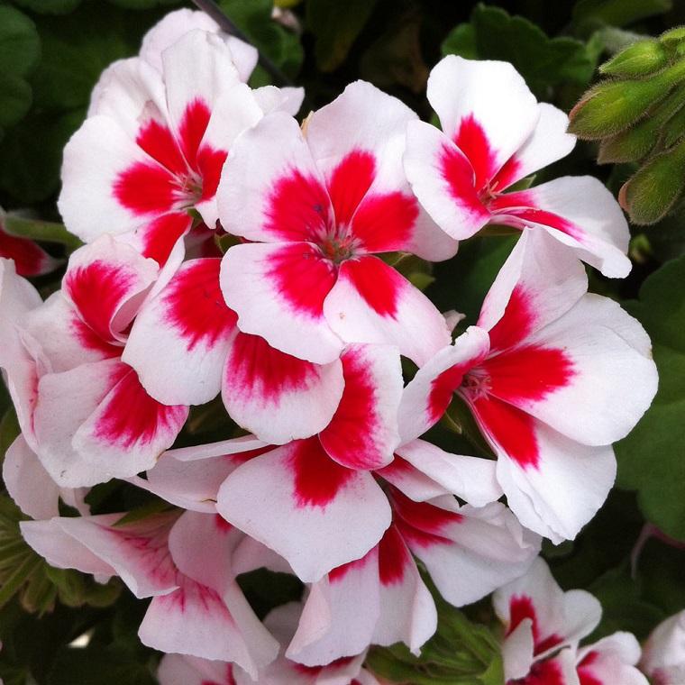 piante per balconi gerani bianchi rossi
