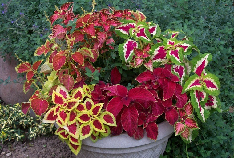 piante per balconi vaso varie specie coleus