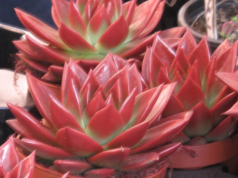 piante per terrazzo echeveria rossa
