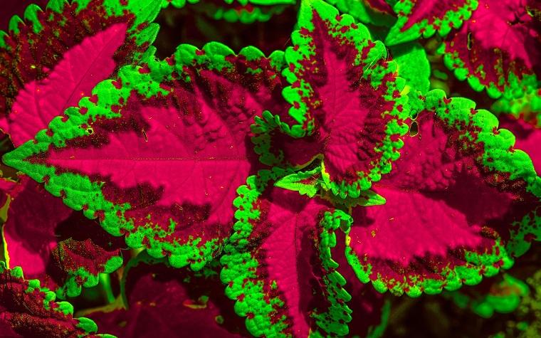 piante per terrazzo esemplare coleus