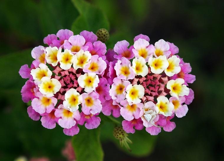 piante per terrazzo esemplare lantana viola gialla