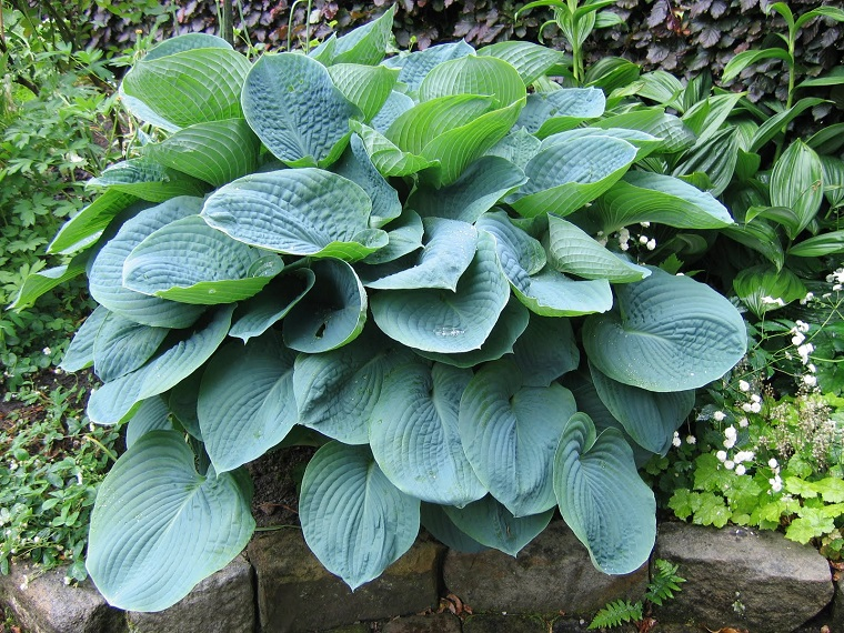 piante per terrazzo esemplare sieboldiana