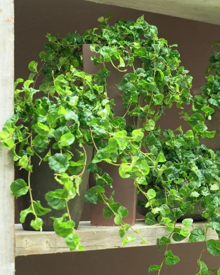 piante per terrazzo ficus repens