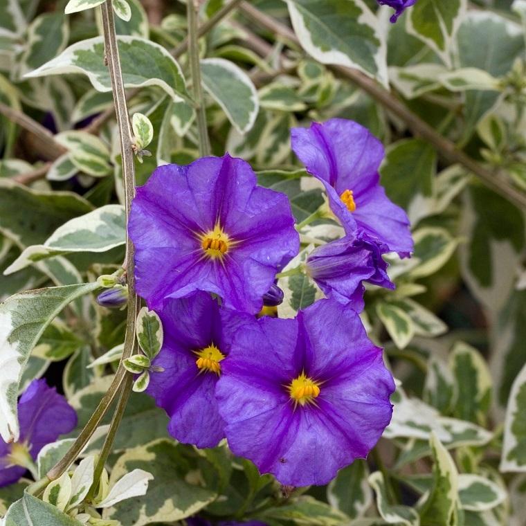 piante per terrazzo fiori solanum