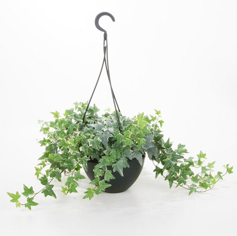 piante per terrazzo hedera helix vaso