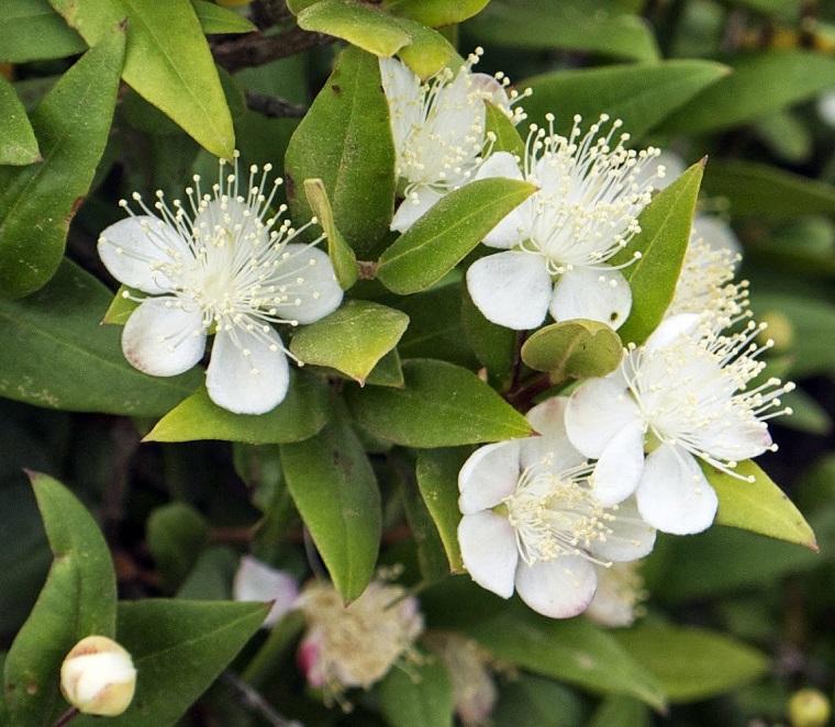 piante per terrazzo mirto fiore