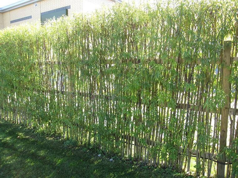 schermatura giardino piante bamboo